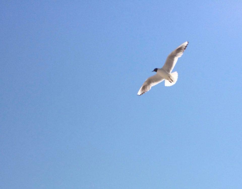 Fliegende Möwe  blauer Himmel   Gegenlicht