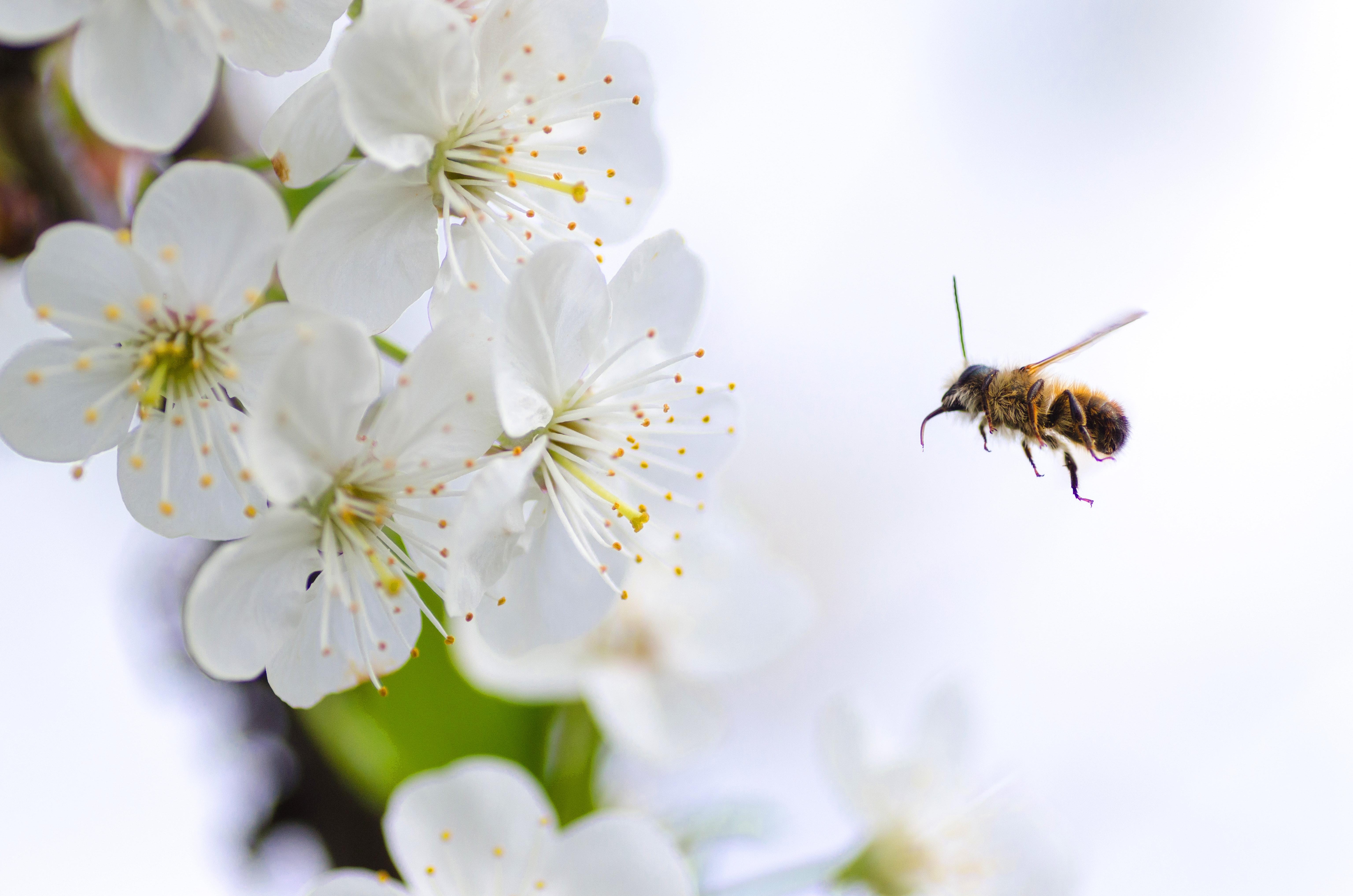 Biene-im-Anflug-auf-Blüte
